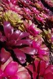 BROMELIAD flower farm in botanic garden Royalty Free Stock Photography