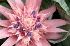 Bromeliad (fasciata de Aechmea) Imagenes de archivo