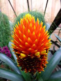 Bromeliad Flower Stock Photos