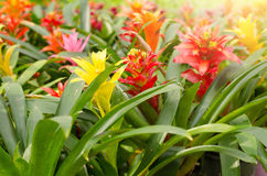 Bromeliad flower Stock Image