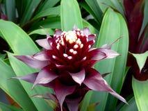 Bromeliad flower blooming Stock Image
