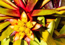 Bromeliad in Flower Royalty Free Stock Photo