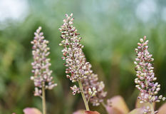 Bromeliad flower Royalty Free Stock Photo