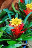 Bromeliad flower. The image of the beautiful bromeliad flower and it's leaves Stock Images