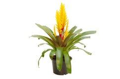 Bromeliad flower Royalty Free Stock Photography