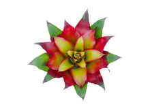 Bromeliad flower Stock Images