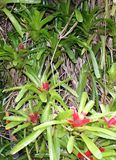 Bromeliad Flower and Plant. Bromeliads are plants that are adapted to various climates. Foliage takes different shapes, from needle-thin to broad and flat Royalty Free Stock Photo