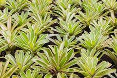 Bromeliad flowers Stock Image