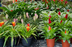 Bromeliad flowers Stock Photography