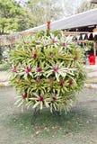 Bromeliad in garden. Royalty Free Stock Photos