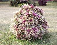 Bromeliad in garden. Stock Image