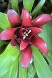 Bromeliad of the genus Nidularium, endemic to Brazil. Sao Paulo, SP, Brazil - November 20, 2016 royalty free stock photography