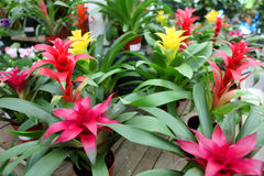 Bromeliad guzmania plants royalty free stock photos