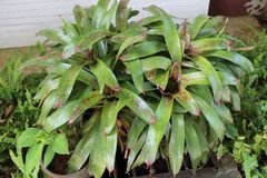 Bromeliad Royalty Free Stock Photo