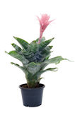 Bromeliad In Pot Royalty Free Stock Images