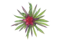 Bromeliad Royalty Free Stock Photos