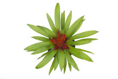 Bromeliad Stock Image