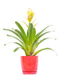 Bromeliad Royalty Free Stock Images