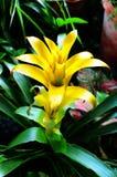 Bromeliad kwiat Zdjęcia Stock