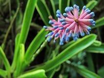 Bromeliad kwiatu menchii Aechmea apocalyptica gamesopela błękit Zdjęcia Royalty Free