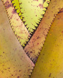 Bromeliad leaves Stock Photos