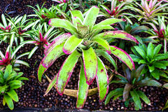 Bromeliad at Mae Fah Luang Garden,locate on Doi Tung,Thailand. Royalty Free Stock Image
