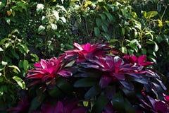 Bromeliad, monocot flowering plants garden decoration royalty free stock image