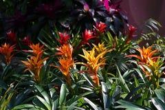 Bromeliad, monocot flowering plants garden decoration stock photos