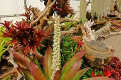 Bromeliad, monocot flowering plants native to the tropical Americas stock photography
