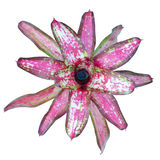 Bromeliad (neoregelia christmas light) Stock Image
