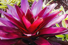 Bromeliad Neoregelia Royalty Free Stock Images