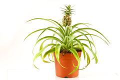 Bromeliad pineapple Stock Photo