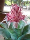 Bromeliad pineapple flowers Stock Photos