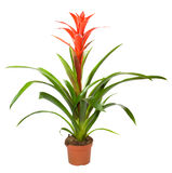 Bromeliad plant Royalty Free Stock Photo