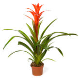 Bromeliad Plant Stock Photo