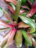 Bromeliad plant Royalty Free Stock Images