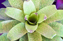 Bromeliad plant Royalty Free Stock Photography