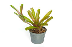 Bromeliad plant in flowerpot. Isolated on white with clipping path royalty free stock image