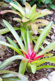 Bromeliad Plant. Royalty Free Stock Photography