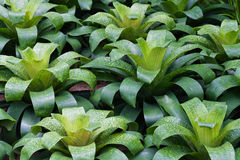 Bromeliad plant in green house Royalty Free Stock Photo