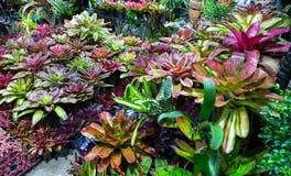 Bromeliad plant Guzmania. Terrarium Guzmania exotic tropical red flower tropical environment Royalty Free Stock Photo