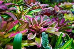 Bromeliad plant Guzmania. Terrarium Guzmania exotic tropical red flower tropical environment Stock Images