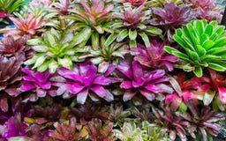 Bromeliad plant Guzmania. Terrarium Guzmania exotic tropical red flower tropical environment Royalty Free Stock Photos