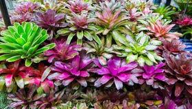 Bromeliad plant Guzmania. Terrarium Guzmania exotic tropical red flower tropical environment Stock Image