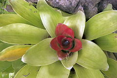 Bromeliad, Plant Of The Bromeliaceae Family Stock Images