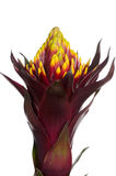 Guzmania Royalty Free Stock Photos