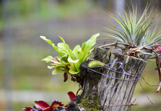 Bromeliad and plant on Stump Royalty Free Stock Image