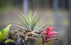 Bromeliad and plant on Stump Royalty Free Stock Images