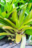 Bromeliad Royalty Free Stock Image