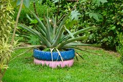 Bromeliad in recycled tire vase royalty free stock photo